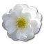 http://www.veryicon.com/icon/64/Love/Rose/Wild%20Rose%20White%202.png